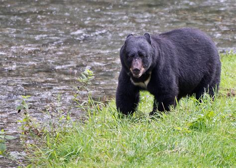 big black bear steve williamson wildlife photography home of great