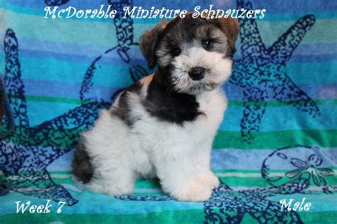 miniature schnauzer puppies for sale in alabama hartselle for sale puppies for sale