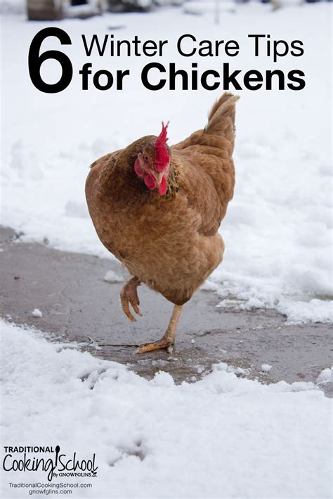 8 Tips On Caring For Chickens by Winter Care For Chickens Six Tips