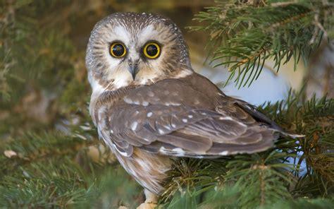 owl tree owl in a tree wallpaper 1082830