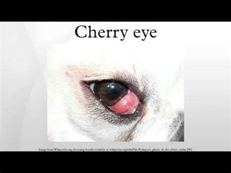 pug cherry eye 3rd eyelid flap 2 2 doovi