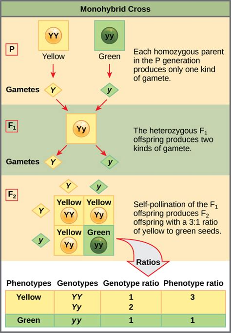 What Pattern Would You Expect In The F2 Generation | characteristics and traits voer