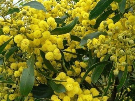 foto mimosa fiore fiori mimosa fiori delle piante