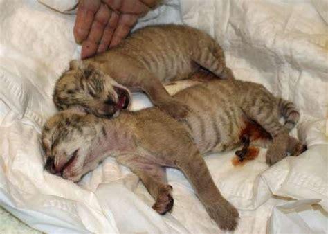Mini Der Tigon due leontigri adottati da un foto 2 5 tutto gratis