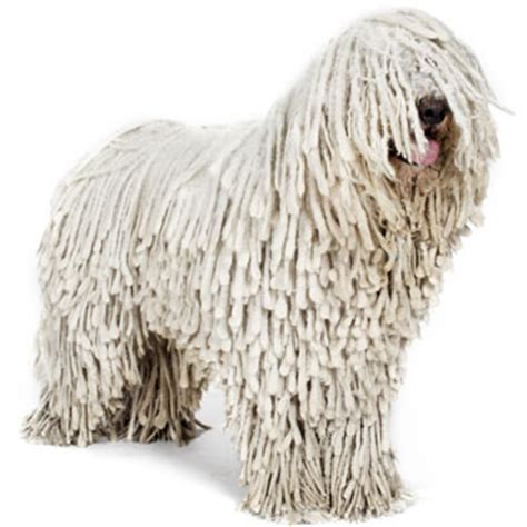 large dogs that dont shed top 30 dogs that don t shed small medium and large breeds pet territory
