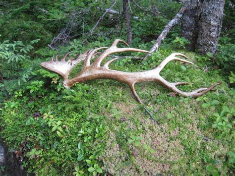 Elk Antler Shed by Moose Antlers Apollo S Journey