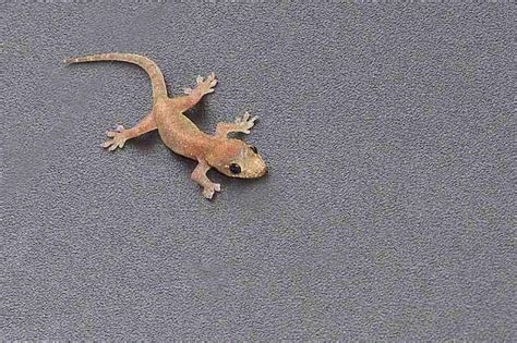 common house gecko ryukyu life okinawa common house gecko images