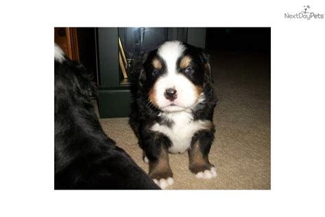 bernese mountain puppies for sale in michigan bernese mountain for sale for 1 000 near grand rapids michigan e1bbadb5 ace1