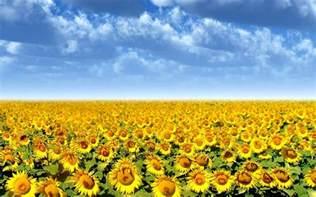 sunflower field wallpaper 265822 wallpapers sunflowers desktop wallpapers