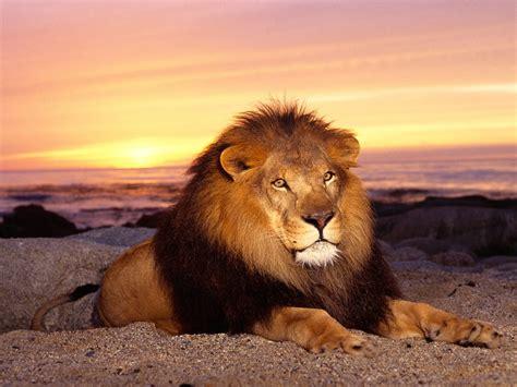 imagenes leones dibujos wallpapers de leones fondos de pantalla de leones