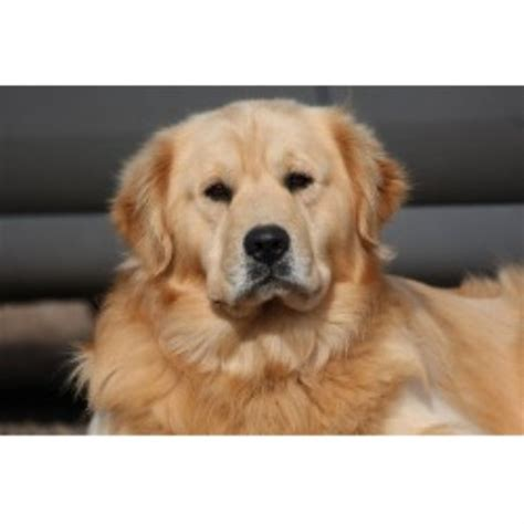 free golden retriever puppies louisiana golden retriever breeders in virginia freedoglistings