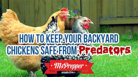 How To Keep Chickens In Your Backyard 28 Images Learn How To Keep Chickens In Your Backyard