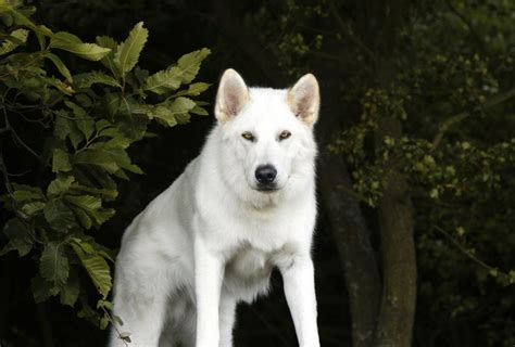 northern inuit puppies northern inuit isn t it a member media husky owners the siberian