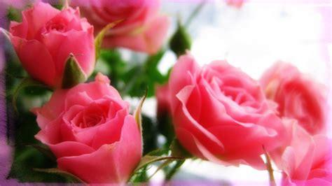 imagenes rosas fondo de pantalla fondo de pantalla con fotos de flores de rosas im 225 genes