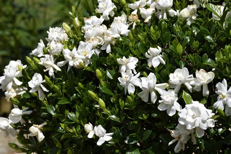 gardenia flower gardenia bush flower free stock photo public domain pictures
