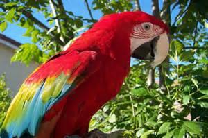 scarlet macaw beauty bird