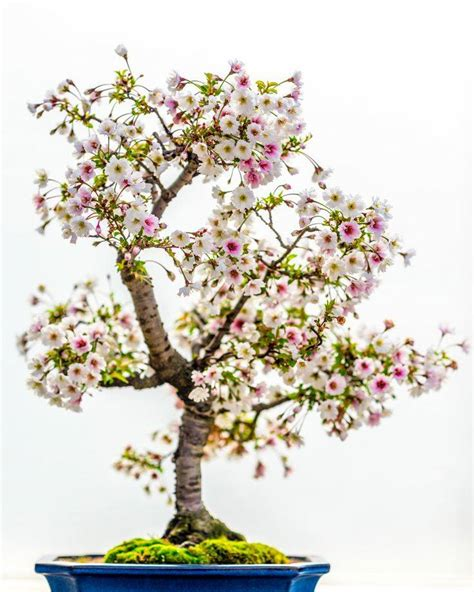 a cherry tree bonsai cherry blossom bonsai tree care of pakistan