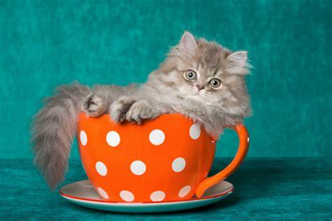 grown teacup teacup cat grown angora cat animal