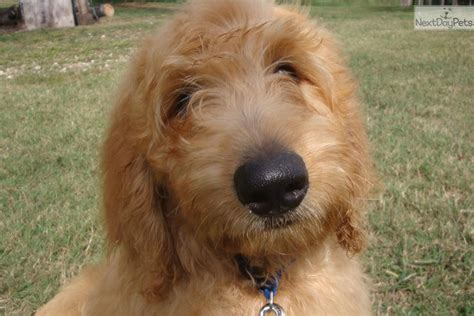 goldendoodle puppy arkansas goldendoodle puppy for sale near rock arkansas