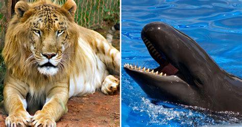 fotos animales hibridos reales 10 animales h 237 bridos reales que no imaginaste ni en sue 241 os