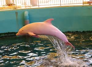 baffling scientists this rare albino dolphin turns pink when he gets angry or sad viralspell
