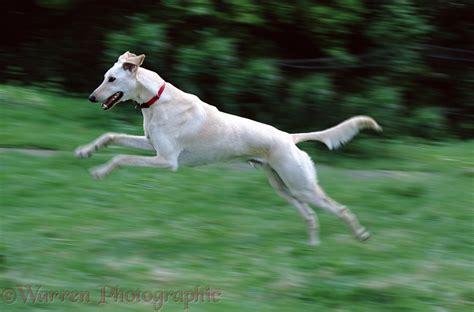 Dog: Saluki Lurcher running photo - WP00933