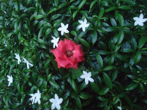 wallpaper daun orange wallpaper bunga mawar orange 30 rumah daun muda