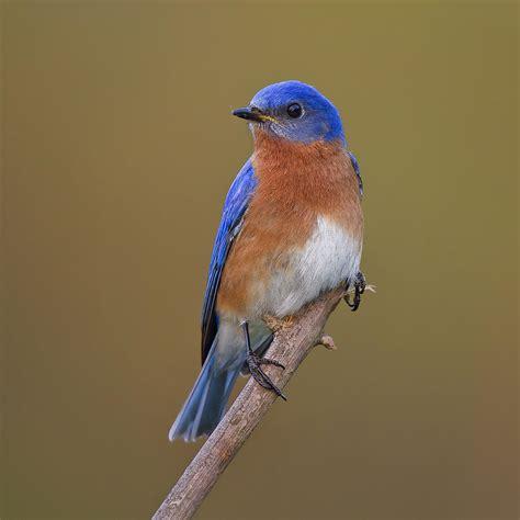 eastern bluebird 2 photograph by david desrochers