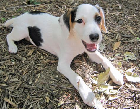 beagle mix puppies for sale near me shepherd puppies for sale picture and images