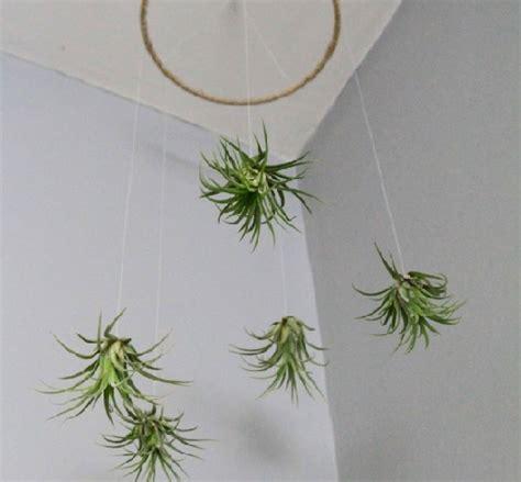 tillandsia  air plant  indah bibitbungacom