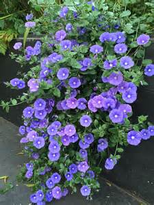 Winter Flowering Shrubs For Containers - daily flower candy convolvulus sabatius the frustrated gardener