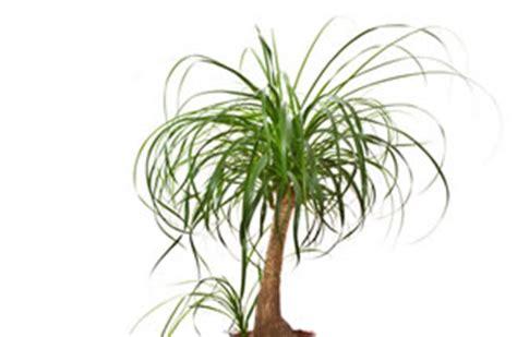 australischer flaschenbaum elefantenbaum flaschenbaum beaucarnea recurvata pflege