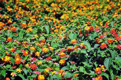 fiori a cespuglio cespuglio di sfondo di fiori colorati foto stock