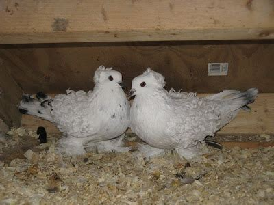 Jual Pigeon by Jual Burung Merpati Hias Pigeon Breeds Frillback Pigeon