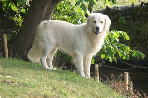 golden retriever coat stages golden retriever le clos de la roseraie