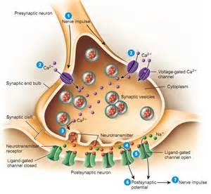 synaptic knob