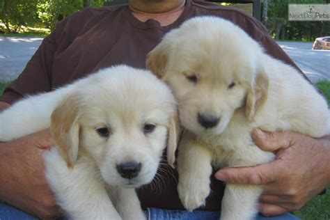 golden retriever breeders cincinnati ohio golden retriever puppy for sale near cincinnati ohio a0dd5004 53d1