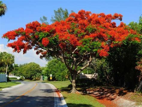 poinsiana tree decorations royal poinciana tree i one and it calles y casas de pueblo trees