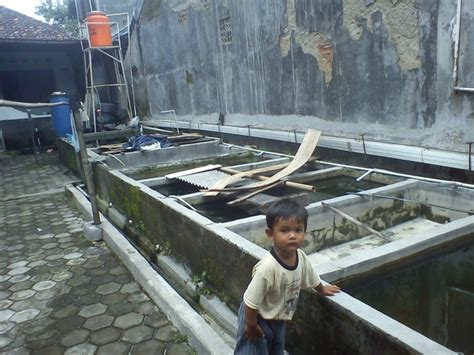 Benih Ikan Nila Ciamis produk benih ikan benih ikan