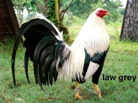 gallos de pelea gallos de combate puros jumper youtube barias razas de gallos doovi