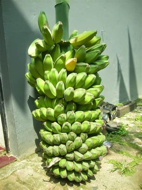 jual pisang kepok berdagang hasil alam jambi