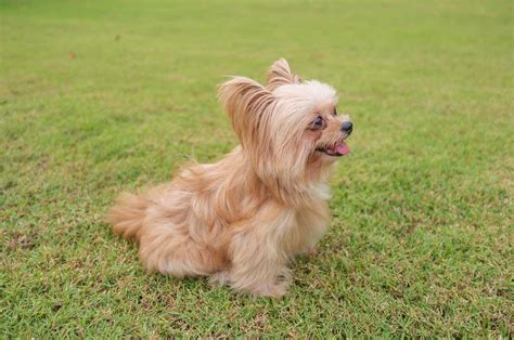 how do yorkies to be to breed yorkie pom breed 187 everything about yorkie pomeranian mixes