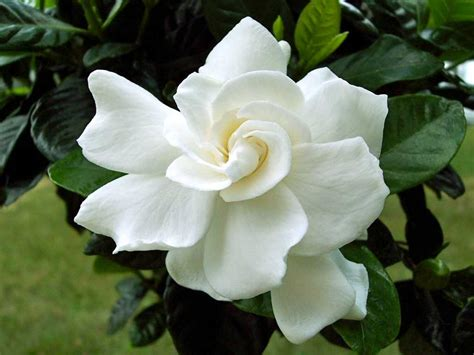 gardenia flowers top 10 most beautiful flowers