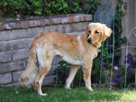 afghan hound golden retriever mix afghan hound x golden retriever cutie dogs