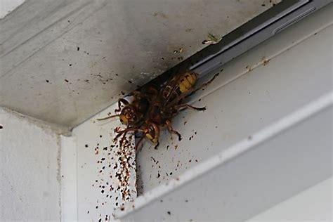 hornissennest im haus hornissen bund naturschutz in bayern e v