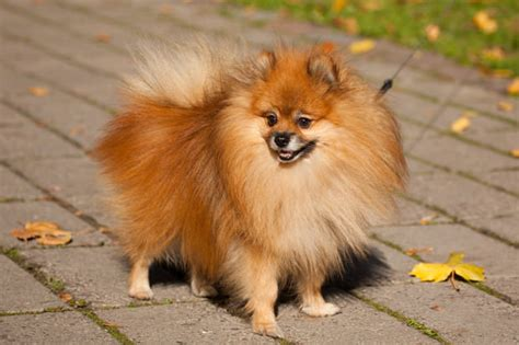 big pomeranian dogs top 20 dogs for time owners show