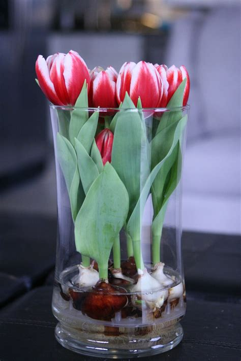Tulip Bulbs In A Vase by Tulips Indoors In Glass Vase In Kitchen For The Home