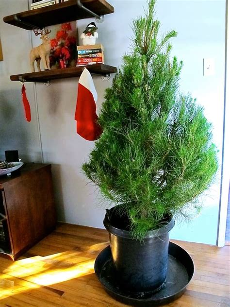living christmas trees decorating ideas that sparkle