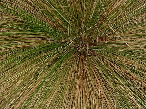 ornamental grass unidentified ornamental grass from the wi flickr