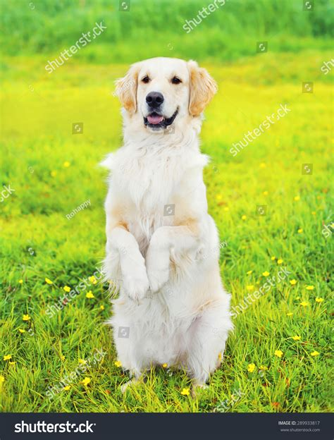 golden retriever paw problems smart obedient golden retriever executes the command standing on its hind paws on